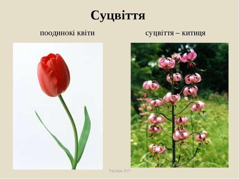 Суцвіття Теслюк Л.П поодинокі квіти суцвіття – китиця Теслюк Л.П