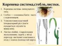 Теслюк Л.П. Коренева система,стебло,листки. Коренева система- мичкуватого тип...