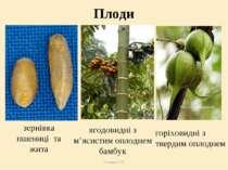 Плоди Теслюк Л.П. зернівка пшениці та жита ягодовидні з м'ясистим оплоднем ба...