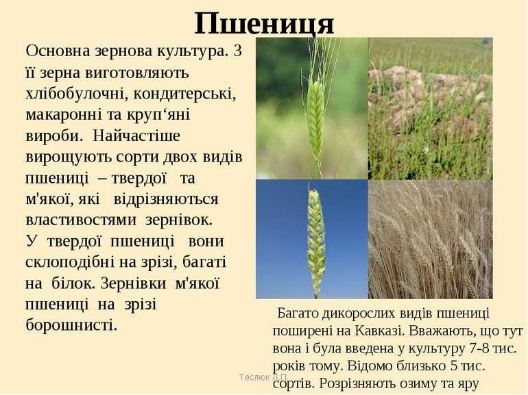 Теслюк Л.П. Пшениця Основна зернова культура. З її зерна виготовляють хлібобу...