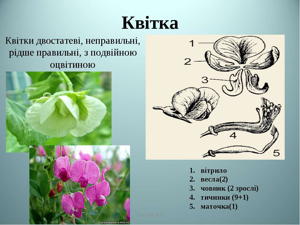 Квітка вітрило весла(2) човник (2 зрослі) тичинки (9+1) маточка(1) Теслюк Л.П...