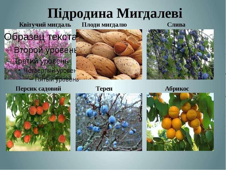 Підродина Мигдалеві Персик садовий Терен Абрикос Квітучий мигдаль Плоди мигда...