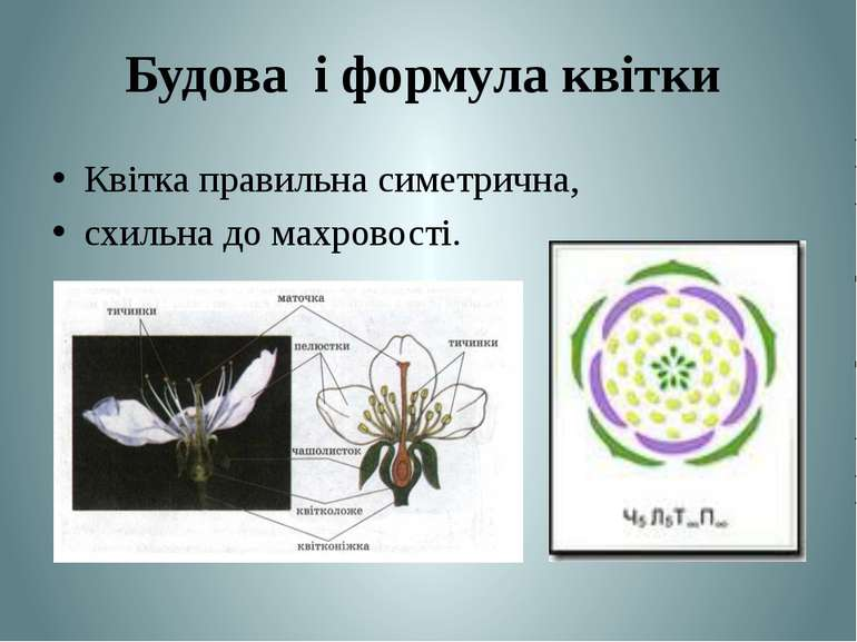 Будова і формула квітки Квітка правильна симетрична, схильна до махровості. Т...
