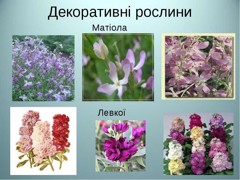Декоративні рослини Матіола Левкої Теслюк Л.П Теслюк Л.П