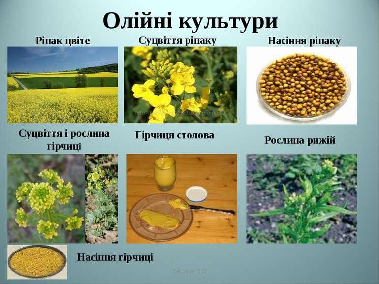 Олійні культури Ріпак цвіте Суцвіття ріпаку Насіння ріпаку Суцвіття і рослина...
