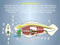 Будова Ланцетника 1-нервова система, 2-хорда, 3-нервова трубка, 4-хвостовий п...