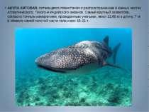 АКУЛА КИТОВАЯ, питающаяся планктоном и распространенная в южных частях Атлант...