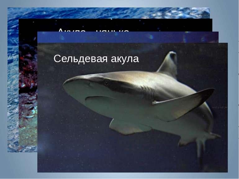 Акула белая Акула - нянька Акула - молот Полярная акула Сельдевая акула