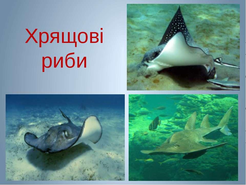 Хрящові риби