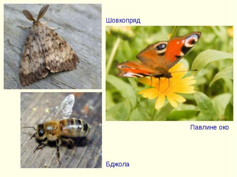 Шовкопряд Павлине око Бджола