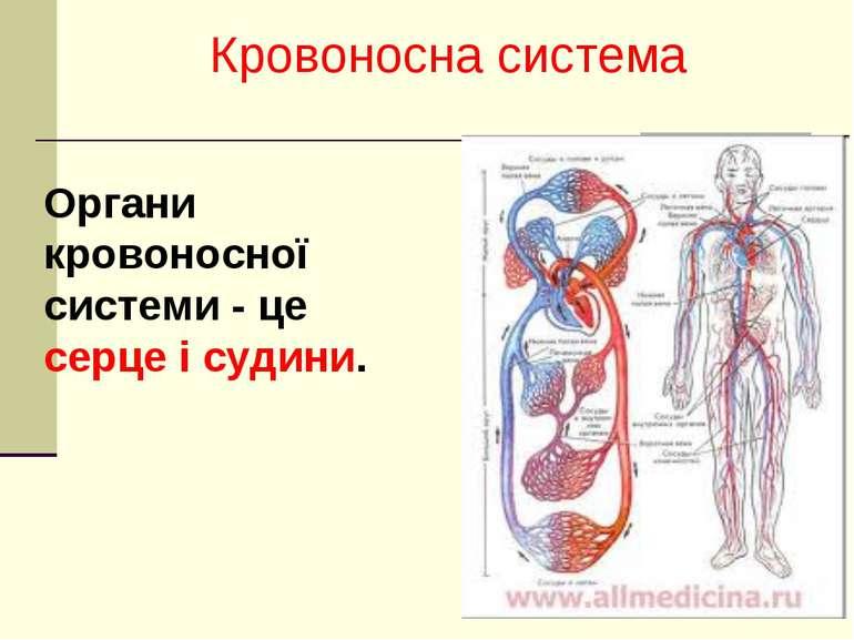 Органи кровоносної системи - це серце і судини. Кровоносна система