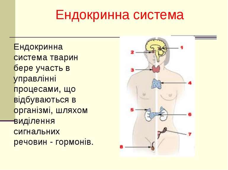 Ендокринна система Ендокринна система тварин бере участь в управлінні процеса...