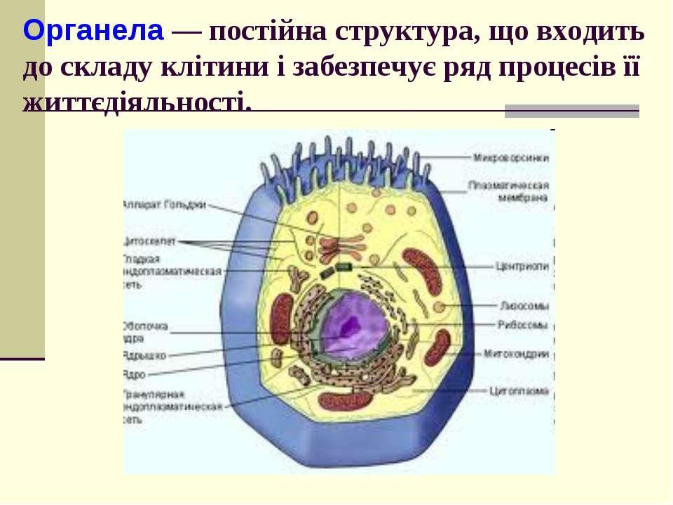 Органела — постійна структура, що входить до складу клітини і забезпечує ряд ...