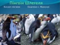 Хохлаті пінгвіни Ендеміки о. Маккуорі