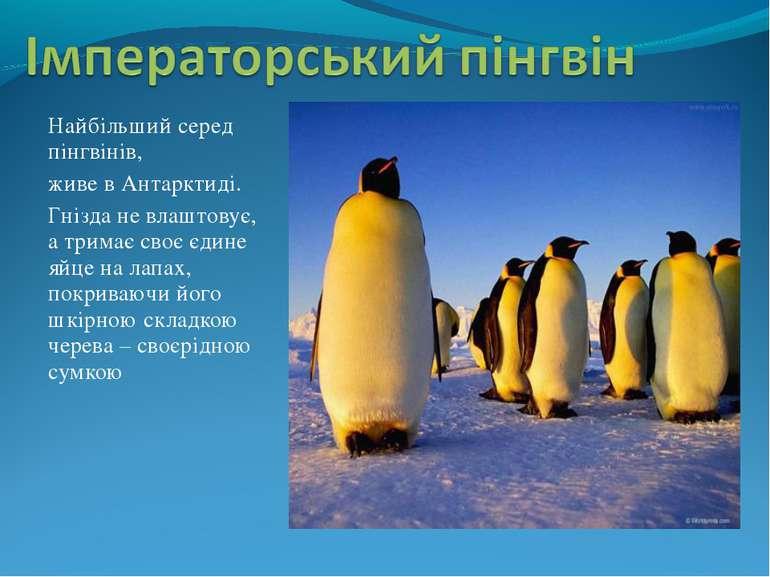 Найбільший серед пінгвінів, живе в Антарктиді. Гнізда не влаштовує, а тримає ...