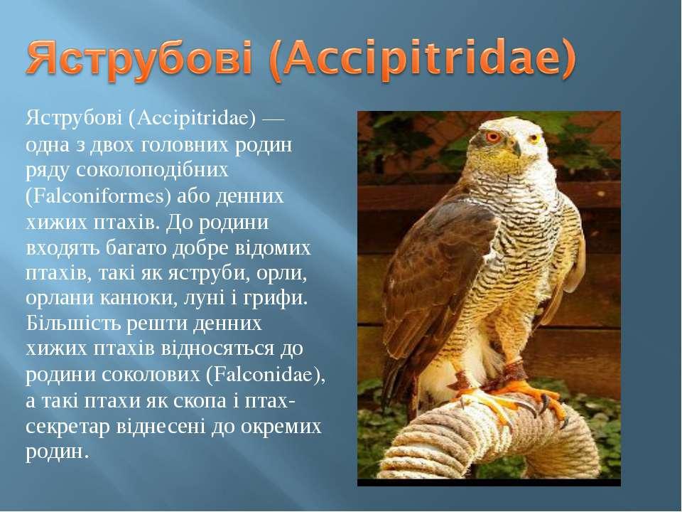 Яструбові (Accipitridae) — одна з двох головних родин ряду соколоподібних (Fa...