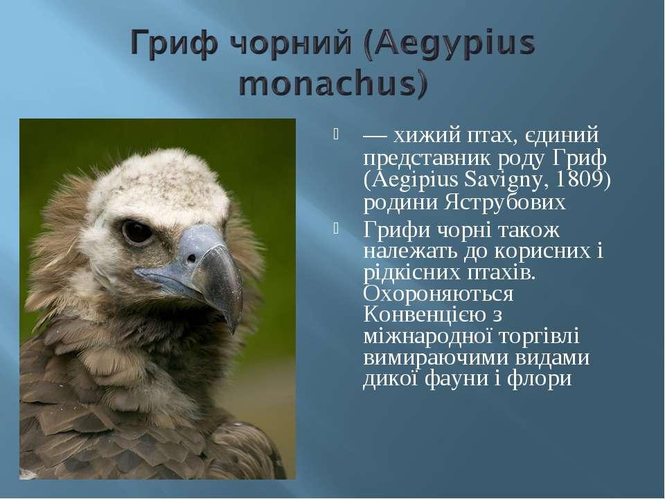 — хижий птах, єдиний представник роду Гриф (Aegipius Savigny, 1809) родини Яс...