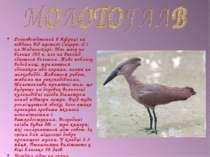 Розповсюджений в Африці на південь від пустелі Сахара. Є і на Мадагаскарі. Ма...