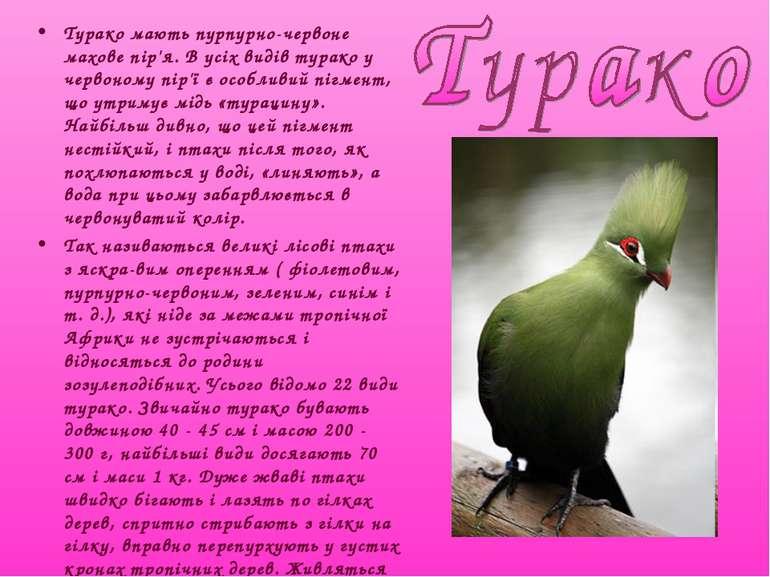 Турако мають пурпурно-червоне махове пір'я. В усіх видів турако у червоному п...