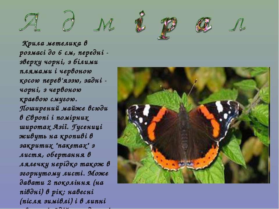 Крила метелика в розмасі до 6 см, передні - зверху чорні, з білими плямами і ...