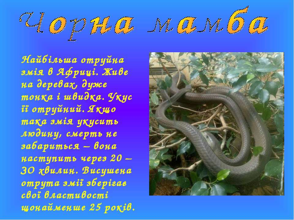Найбільша отруйна змія в Африці. Живе на деревах, дуже тонка і швидка. Укус ї...