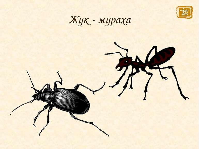 Жук - мураха