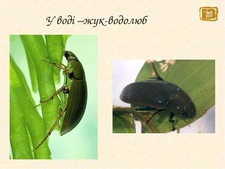 У воді –жук-водолюб