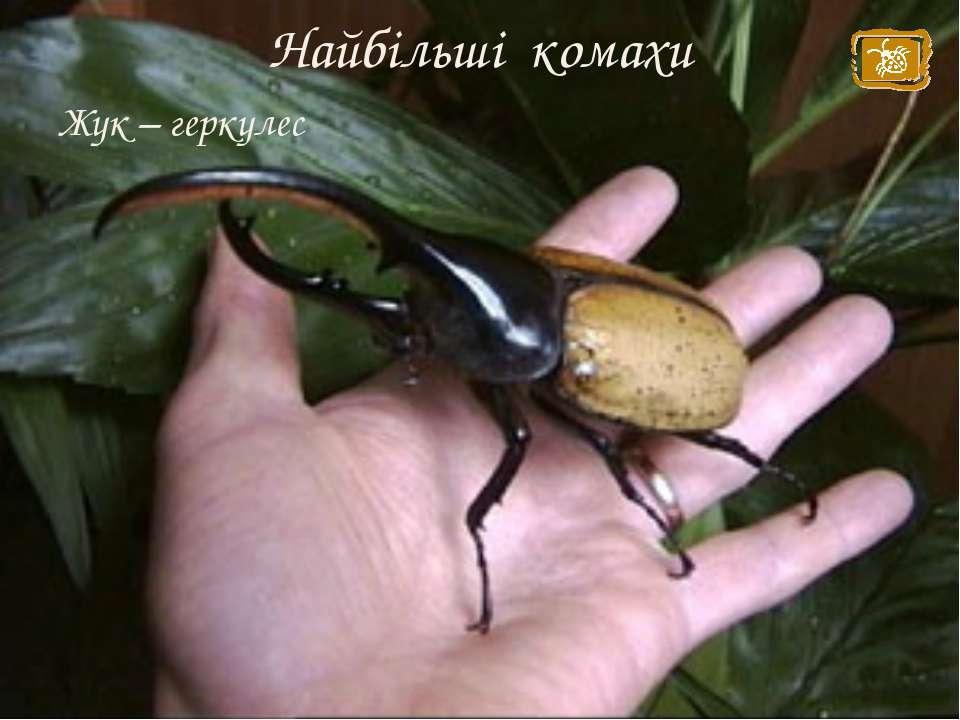 Найбільші комахи Жук – геркулес