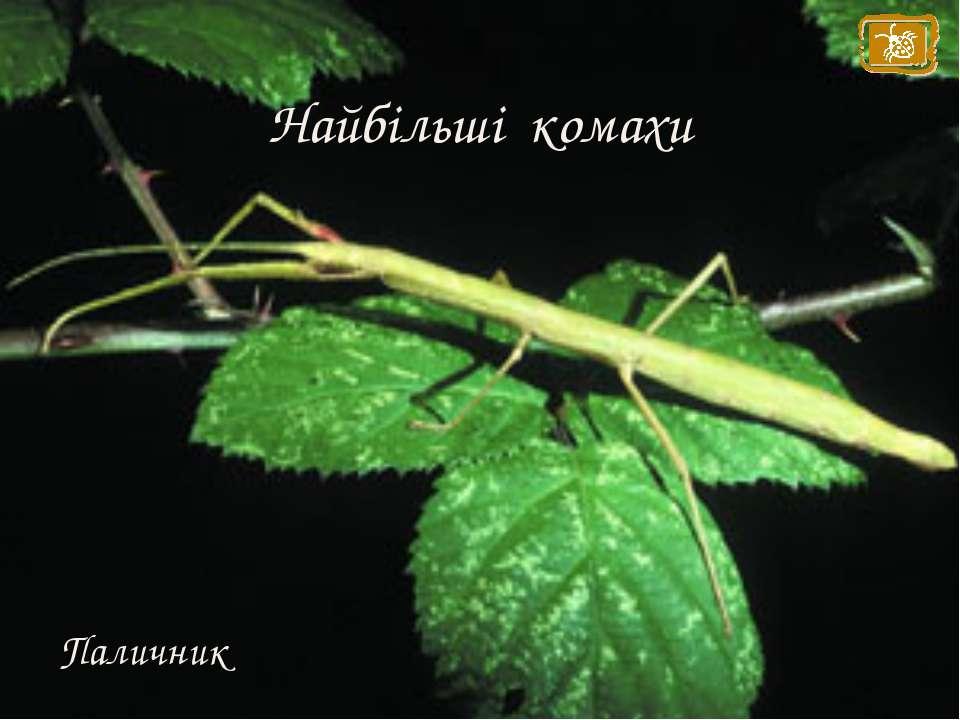 Найбільші комахи Паличник