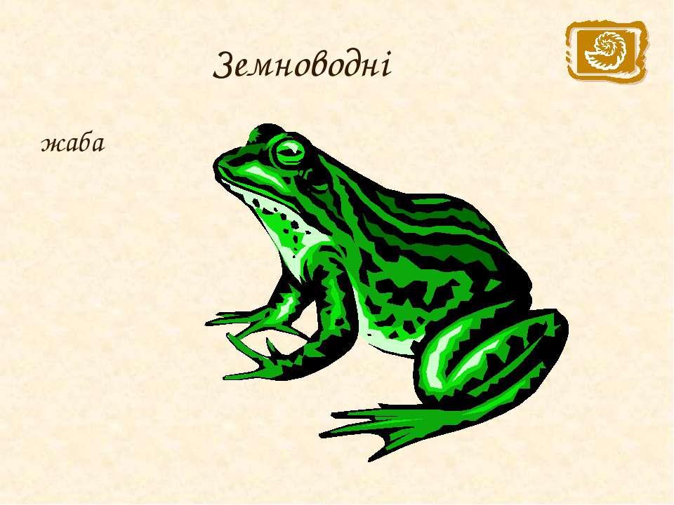 Земноводні жаба