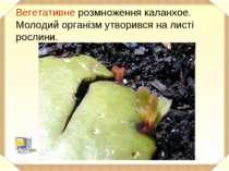 Вегетативне розмноження каланхое. Молодий організм утворився на листі рослини.