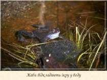 Жаби відкладають ікру у воду