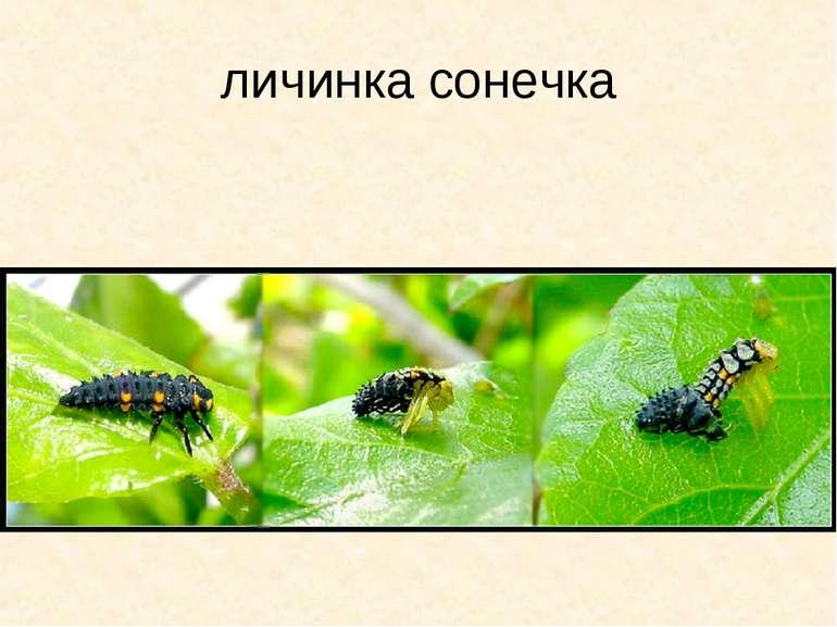личинка сонечка