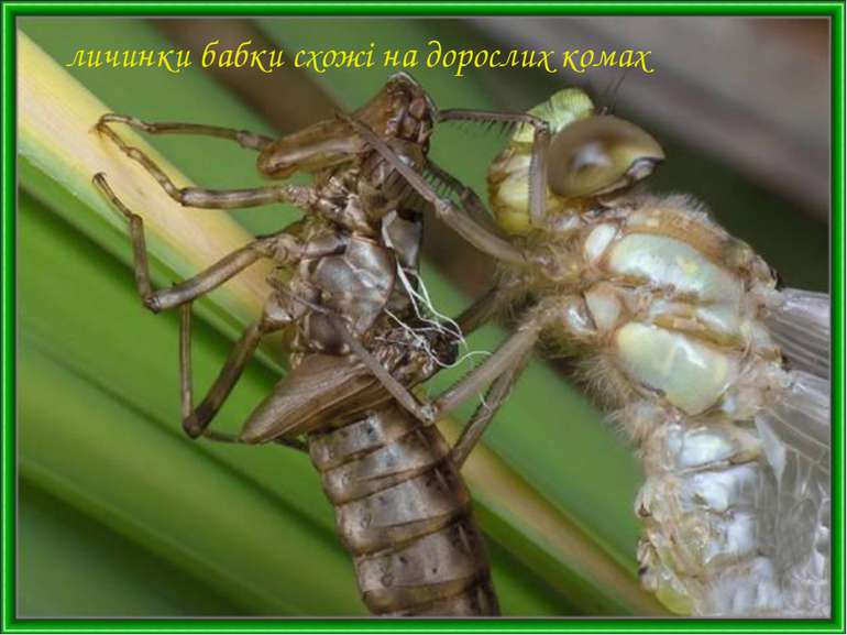 личинки бабки схожі на дорослих комах