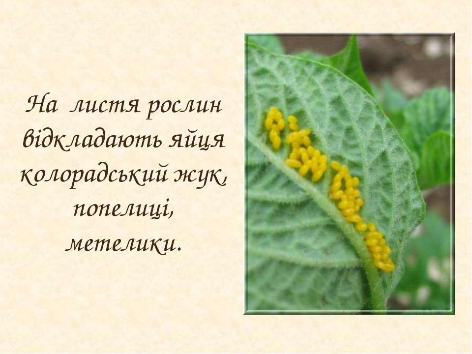 На листя рослин відкладають яйця колорадський жук, попелиці, метелики.