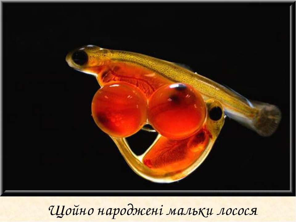 Щойно народжені мальки лосося