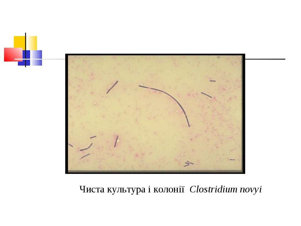 Чиста культура і колонії Clostridium novyi