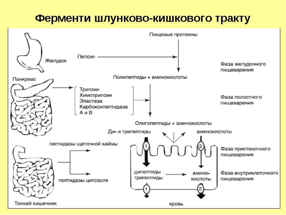 Ферменти шлунково-кишкового тракту