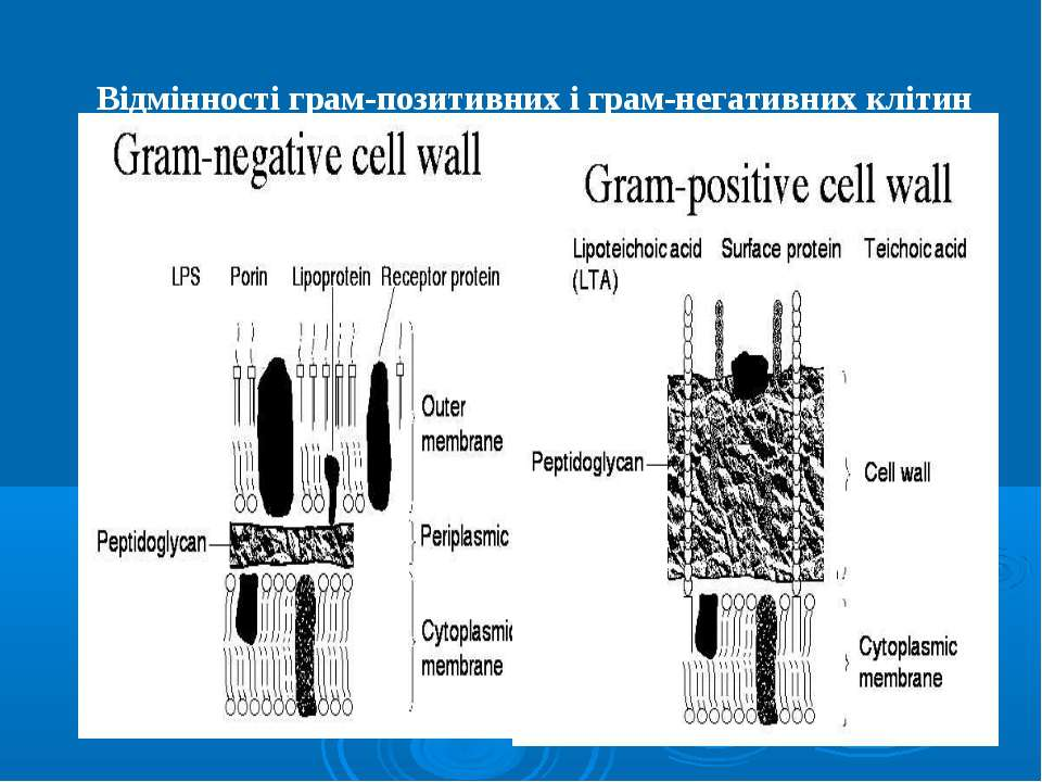 Відмінності грам-позитивних і грам-негативних клітин