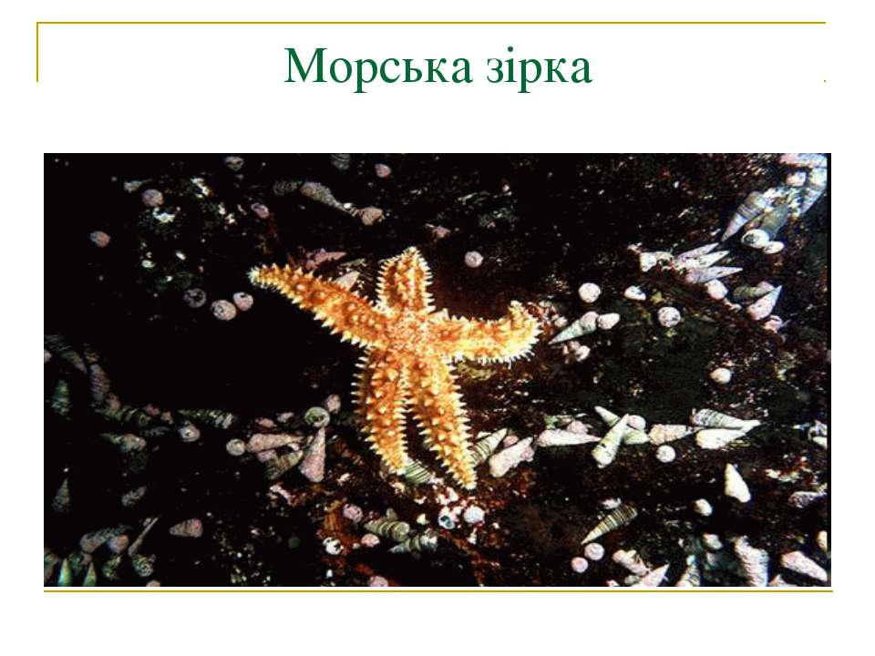 Морська зірка