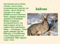 Зайчик Зустрічається в лісах, степах, лісостепах, полезахисних смугах, на пол...