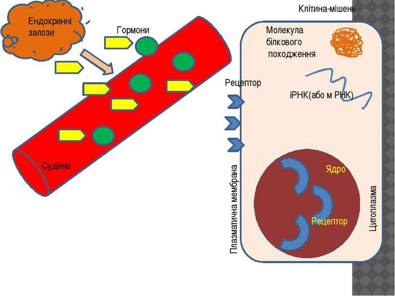 Клітина-мішень Ядро Плазматична мембрана Цитоплазма Рецептор Рецептор Гормони...