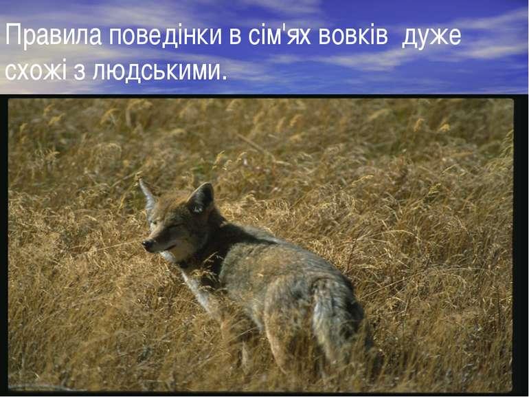 Правила поведінки в сім'ях вовків дуже схожі з людськими.
