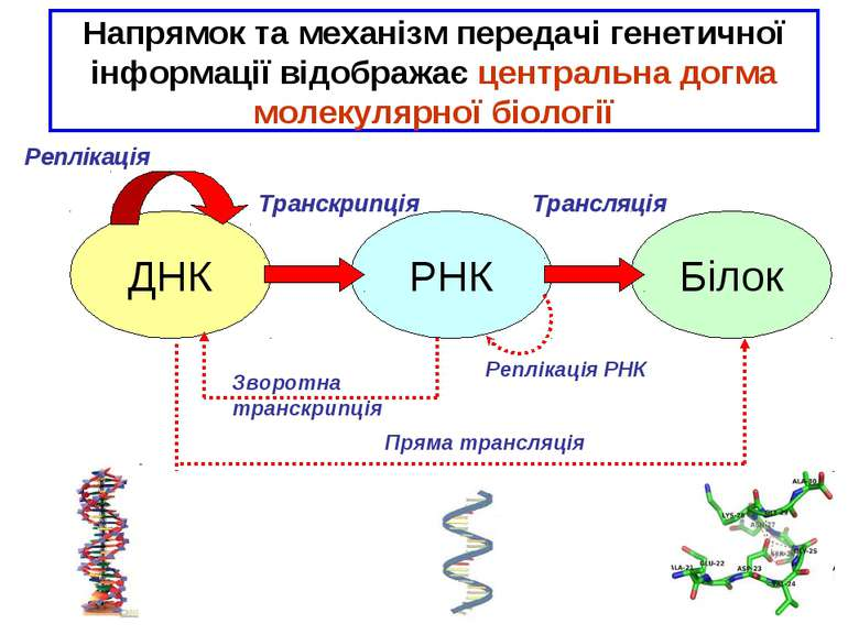 * ДНК РНК Білок Реплікація Транскрипція Трансляція Зворотна транскрипція Репл...