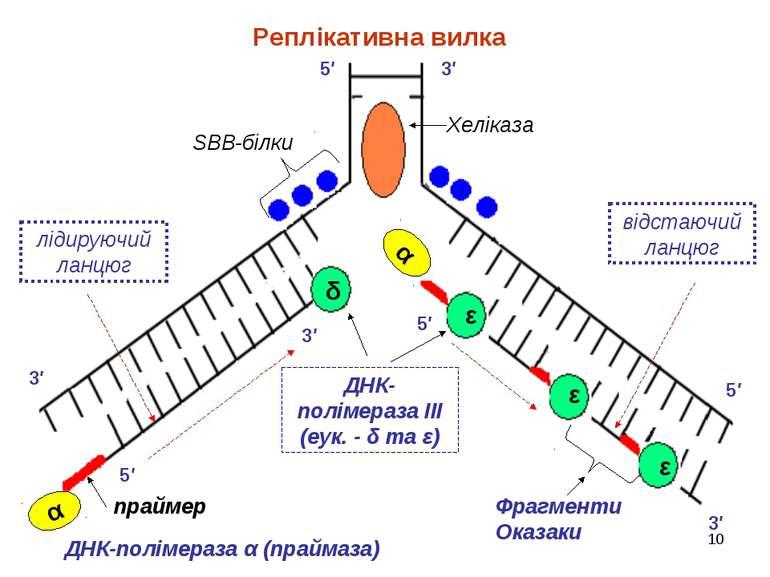 * 5′ 5′ 3′ 3′ 3′ 5′ 3′ 5′ SBB-білки Хеліказа праймер ДНК-полімераза ІІІ (еук....
