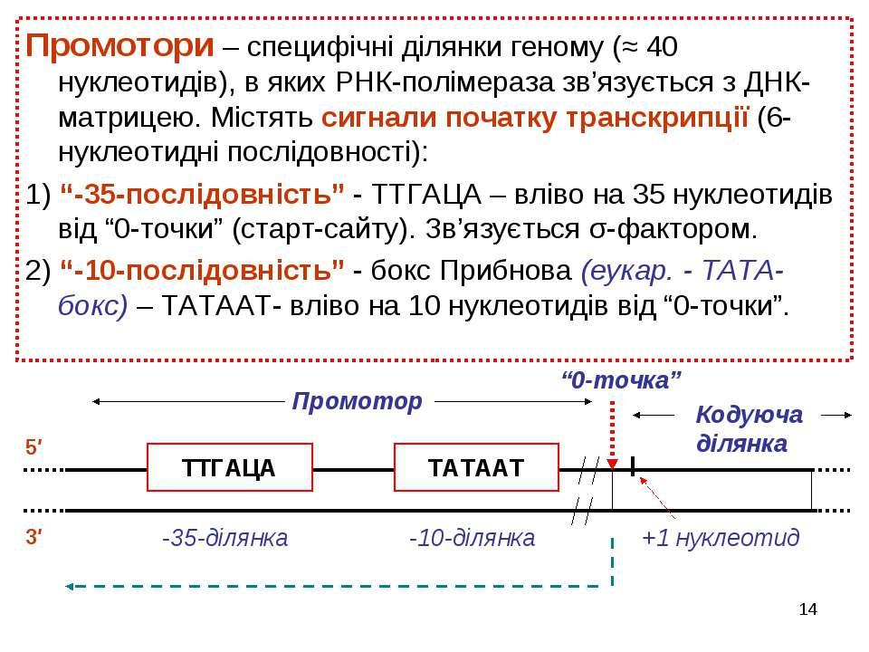 * Промотори – специфічні ділянки геному (≈ 40 нуклеотидів), в яких РНК-поліме...