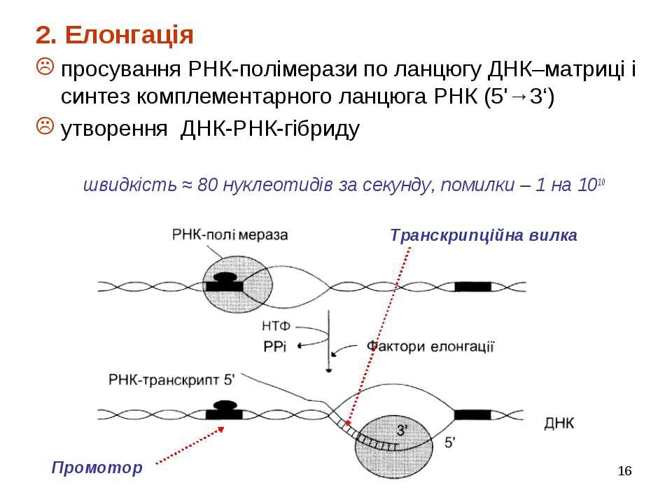 * 2. Елонгація просування РНК-полімерази по ланцюгу ДНК–матриці і синтез комп...