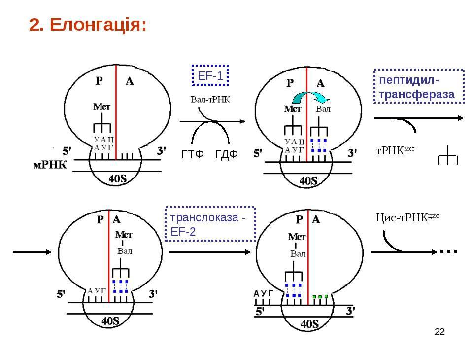 * тРНКмет Цис-тРНКцис … ГТФ ГДФ 2. Елонгація: EF-1 пептидил-трансфераза транс...