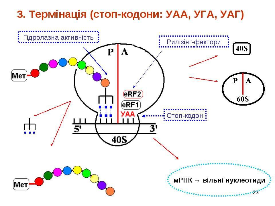 * 3. Термінація (стоп-кодони: УАА, УГА, УАГ) мРНК → вільні нуклеотиди Стоп-ко...
