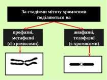 За стадіями мітозу хромосоми поділяються на профазні, метафазні (d-хромосоми)...